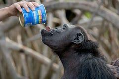 Chimpanzee drinking milk. Republic of the Congo. Conkouati-Douli Reserve Reserve. stock photo