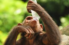 Chimpanzee. Drinking water in a bottle royalty free stock photo