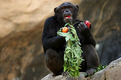 Chimpanzee eating an apple. And sitting on a rock Stock Photos