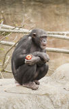 Chimpanzee. Eating an apple on a rock Royalty Free Stock Photo