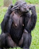 Chimpanzee Eating food on Sunny Day. Female chimpanzee eats food and sucks fingers on sunny day stock photos