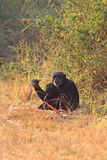 Chimpanzee the eating sweet reed Royalty Free Stock Images