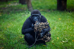 Chimpanzee eats a dry twig Royalty Free Stock Photography