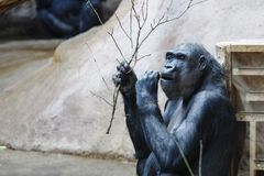 Chimpanzee eats leaves from a tree branch royalty free stock photo