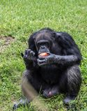Chimpanzee Eats a Tomato on Sunny Day. Male chimpanzee sits in green grass while eating tomato on sunny day royalty free stock photography