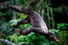 The chimpanzee escapes. Royalty Free Stock Photo