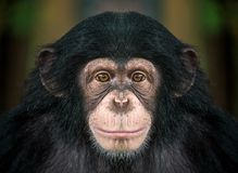 Free Chimpanzee Face. Royalty Free Stock Photo - 110509275