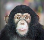 Chimpanzee face. stock photo