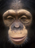 Chimpanzee face close up-grain royalty free stock photography