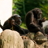 Chimpanzee Family Royalty Free Stock Images