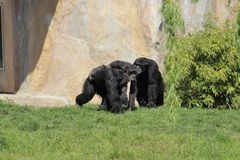 Chimpanzee family playing together in zoo in leipzig in germany. royalty free stock photo
