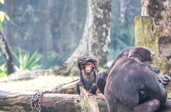 Chimpanzee family Royalty Free Stock Images
