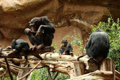 Chimpanzee family sitting on wood pile Stock Photo
