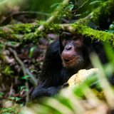 Chimpanzee, Kibale Forest, Uganda. Chimpanzee feeding on dates in the Kibale Forest, Uganda Royalty Free Stock Photo