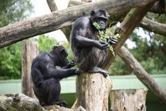 Chimpanzee feeding. Two chimpanzees feeding green plants Stock Photo