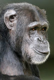 Chimpanzee. Female Chimpanzee close up portrait stock image