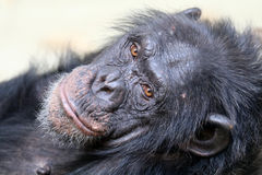 Chimpanzee. Female chimpanzee close up portrait royalty free stock images