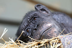 Chimpanzee. A Chimpanzee female is lying in straw royalty free stock photos