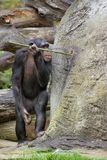 Chimpanzee 'fishing' for food royalty free stock images