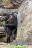 Chimpanzee 'fishing' for food. Chimpanzee using a bamboo 'fishing line' to get at the mites Royalty Free Stock Photos