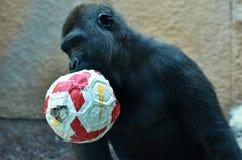 Chimpanzee with football