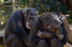 Chimpanzee friends. Taking care of ech other the other one has on tumor on its face Stock Image