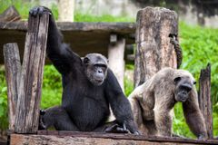 Chimpanzee fun is looking. stock photos
