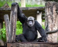 Chimpanzee fun is looking. stock images