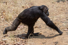 Chimpanzee gait. Male Eastern chimpanzee walking across grassland Stock Photography