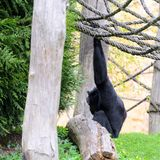 Chimpanzee in the garden, playing with ropes. Spring. Chimpanzee in the garden, playing with ropes. Its pring royalty free stock image