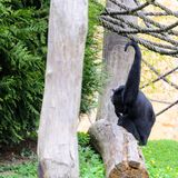 Chimpanzee in the garden, playing with ropes. Spring. Chimpanzee in the garden, playing with ropes. Its pring royalty free stock images
