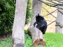 Chimpanzee in the garden, playing with ropes. Spring. Chimpanzee in the garden, playing with ropes. Its pring royalty free stock photos