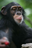 Chimpanzee gives a cherry Royalty Free Stock Images