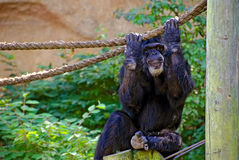 Chimpanzee gripping a rope Stock Photo