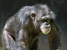 Chimpanzee Stock Photos