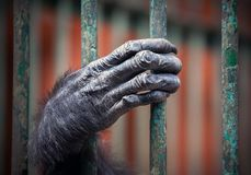 Chimpanzee hand with hairy fingers. Chimpanzee hand with hairy fingers, close-up. Palm of great apes, the hand of Chimpanzee in a cage royalty free stock photo