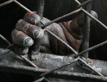 Chimpanzee Hand. The hand of a Chimpanzee locked up in a cage stock photography