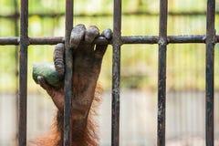 Chimpanzee hand. Stock Image