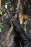 Chimpanzee hands holding onto vine. Two hands of Eastern chimpanzees holding onto a vine during a grooming session Royalty Free Stock Photography