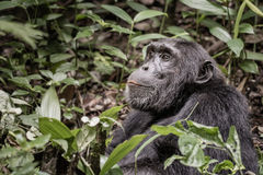 Chimpanzee is happy and looks into the jungle. A Uganda chimpanzee seams to smile and looks up into the jungle stock images