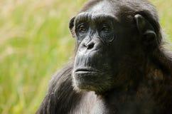Chimpanzee 4. A chimpanzee headshot, in close up Royalty Free Stock Photos