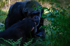 Chimpanzee. A chimpanzee and his son Royalty Free Stock Photography