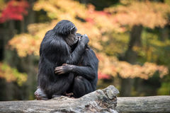 Chimpanzee Hug II. Chimpanzee Baby and Mother Hugging on Tree Branch royalty free stock photography