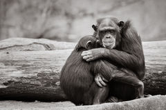 Chimpanzee Hug. Loving Chimpanzee Mother Hugging Her Son stock photography