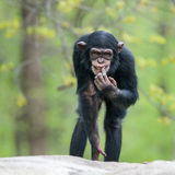 Chimpanzee II. Frontal Portrait of a Cheeky Young Chimpanzee stock photo