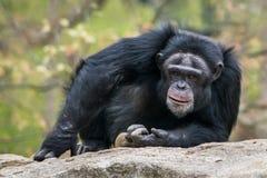 Chimpanzee III. Frontal Portrait of a Male Chimpanzee stock image