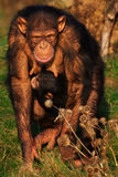 Chimpanzee with an infant on her belly Stock Photos
