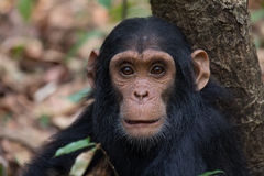 Chimpanzee infant. Portrait of Eastern chimpanzee infant in natural habitat Stock Photo