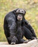 Chimpanzee IV. Frontal Portrait of a Sitting Chimpanzee royalty free stock photography