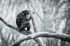 Chimpanzee IX. Young Chimpanzee Sitting in Tree stock images